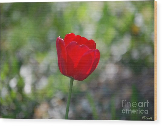 Only But A Single Tulip Wood Print
