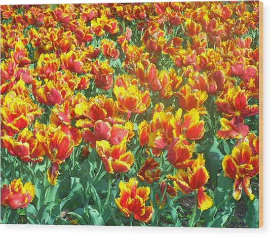 Red-yellow Tulips Wood Print
