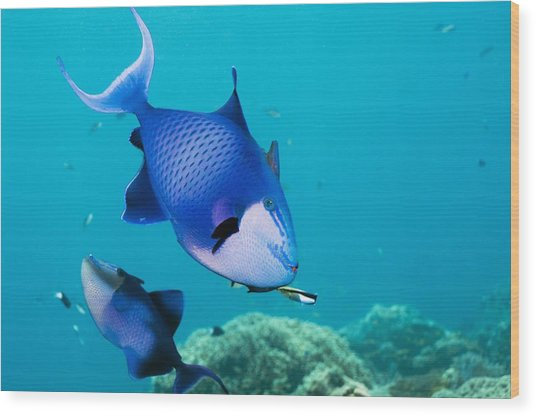 Redtoothed Triggerfish Wood Print by Georgette Douwma