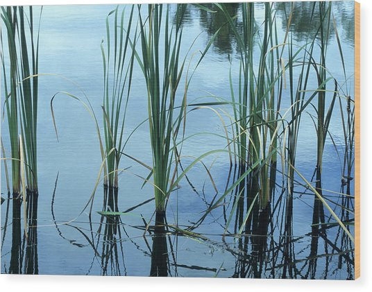 Reeds In The Water Wood Print