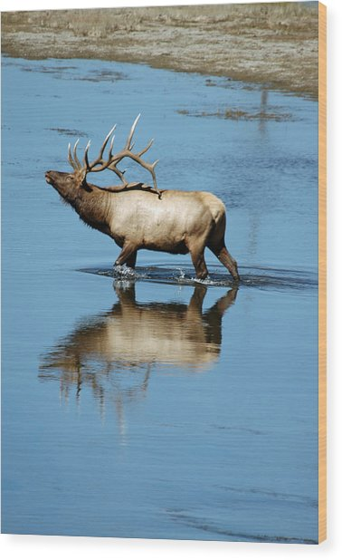 Reflections Of An Elk Wood Print