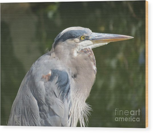 Regal Heron Wood Print