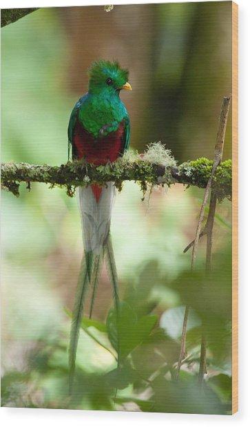 Resplendant Quetzal Wood Print