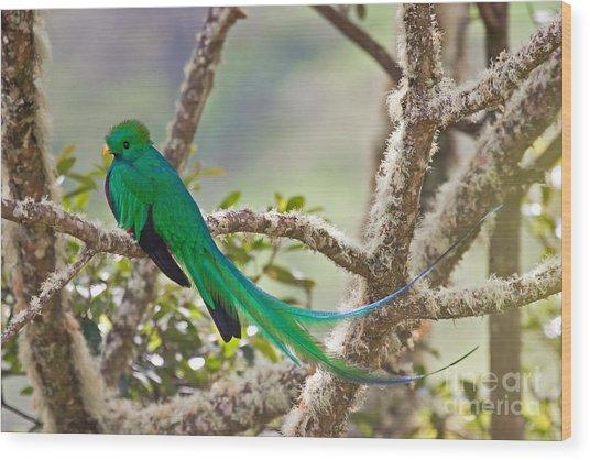 Resplendent Quetzal Wood Print