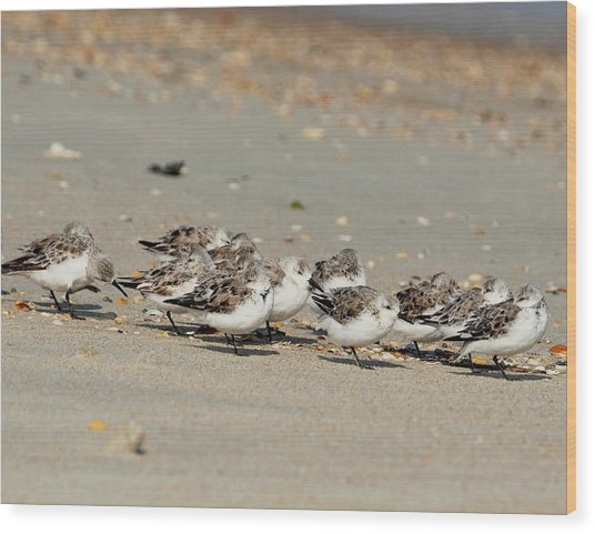 Resting Sandpipers Wood Print