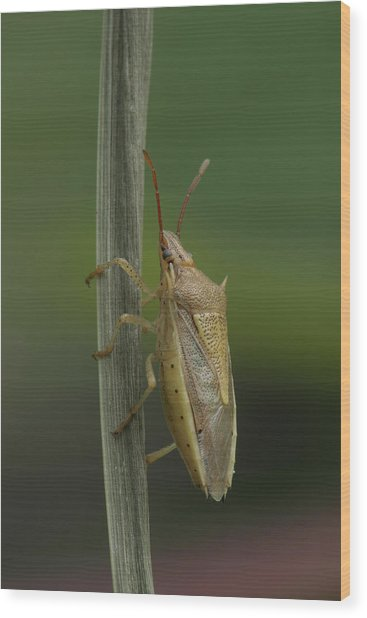 Wood Print featuring the photograph Rice Stink Bug by Daniel Reed
