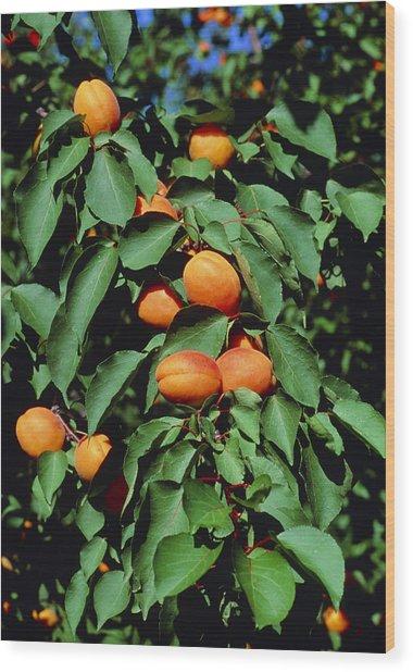 Ripe Apricots Growing On A Branch Wood Print by Kaj R. Svensson