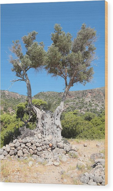 Riven Olive Wood Print by Paul Cowan