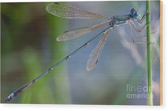 Riverjack Damselfly Wood Print