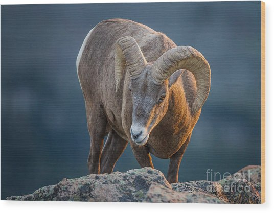 Rocky Mountain Big Horn Ram Wood Print