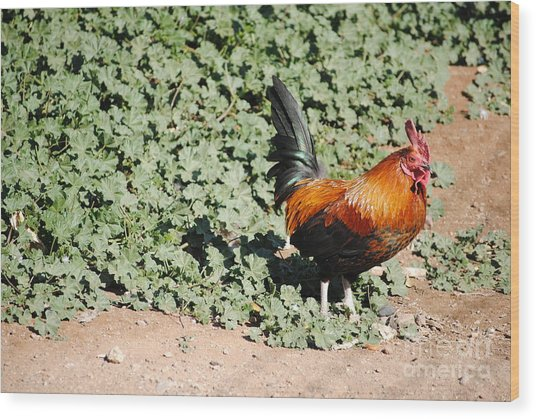 Rooster On The Edge  Wood Print by Rebbeca Alt