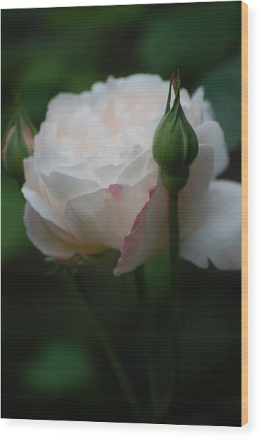 Rose - White Wood Print by Dickon Thompson