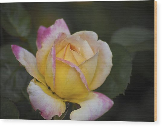 Rose With Pink Tips Wood Print