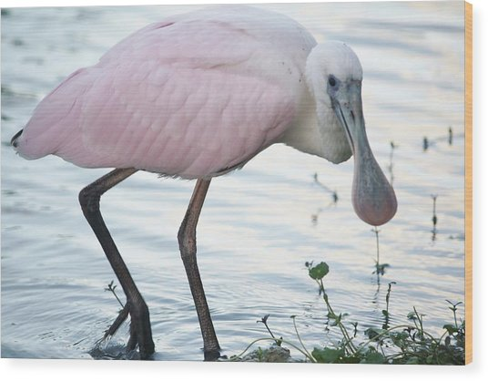 Roseate Spoonbill 3 Wood Print by Andrea  OConnell