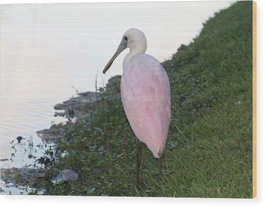Roseate Spoonbill 4 Wood Print by Andrea  OConnell