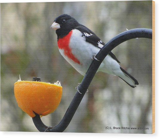 Rosebreasted Grossbeak Eating Orange Wood Print