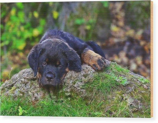 Rottie Pup Wood Print