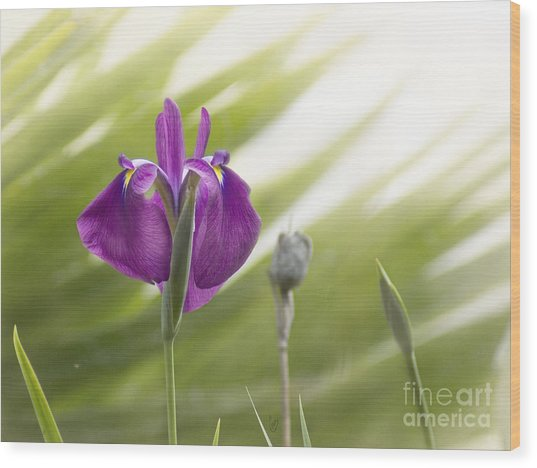 Purple Japanese Water Iris Wood Print