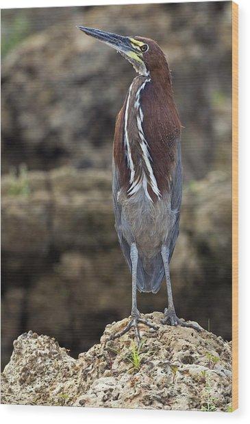 Rufescent Tiger Heron Wood Print by Tony Camacho