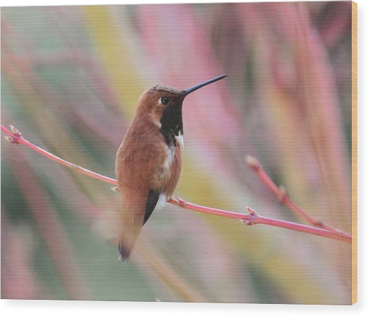 Rufous Hummingbird 3 Wood Print