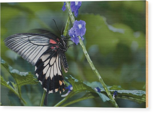 Rumanzovia Swallowtail-papilio Rumanzovia Female Wood Print