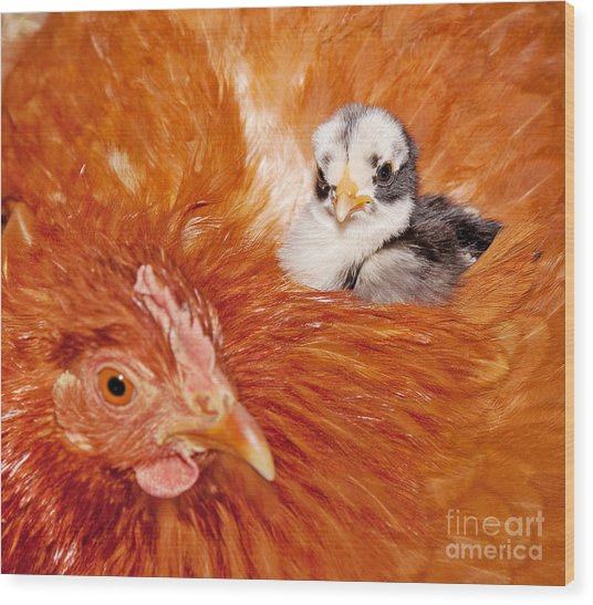 Safety Of Mama Hen Wood Print