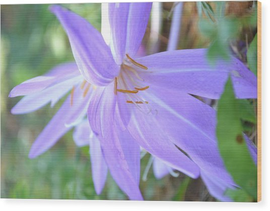 Saffron Flower Wood Print by Paula Deutz