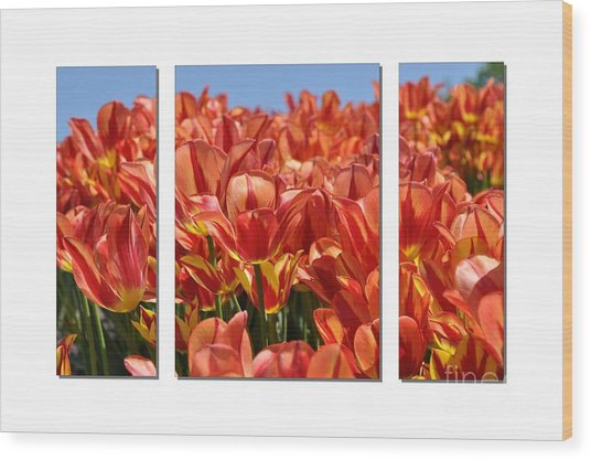 Sea Of Tulips Wood Print