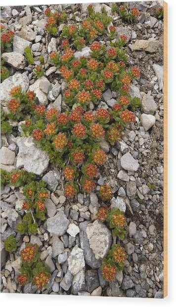 Sedum Integrifolium Syn Sedum Roseum Wood Print by Bob Gibbons