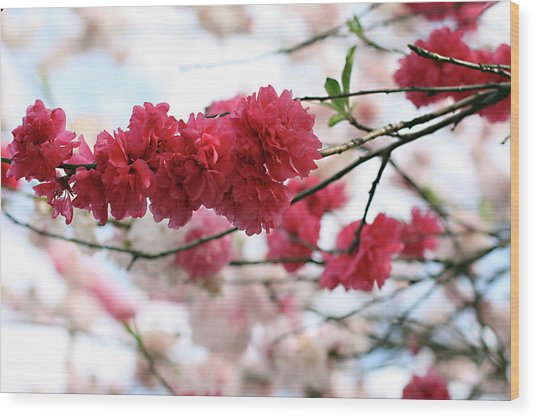 Shades Of Pink Blossom Wood Print by photo by Marcia Luly