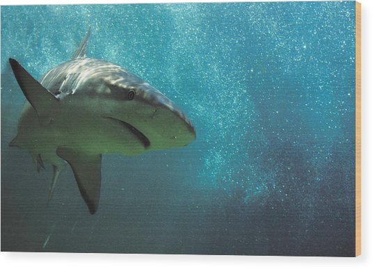 Shark Attack Wood Print by Carl Purcell