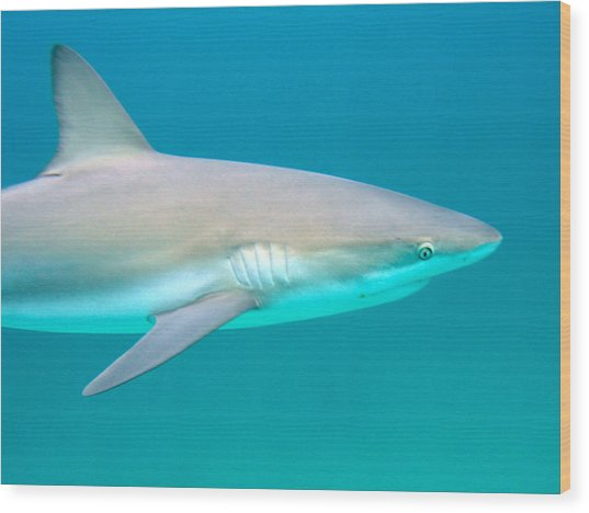 Shark Profile Wood Print by Ted Papoulas