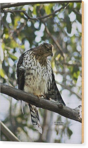 Sharp Shinned Hawk - Winged Stare -5459 Wood Print