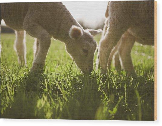 Sheep Grazing In Grass Wood Print