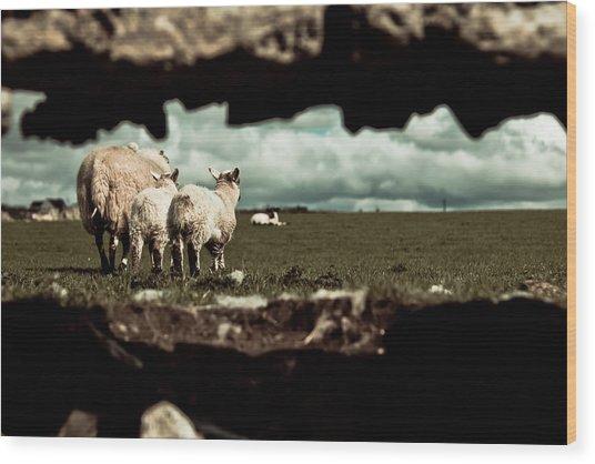 Sheep In The Wall Wood Print