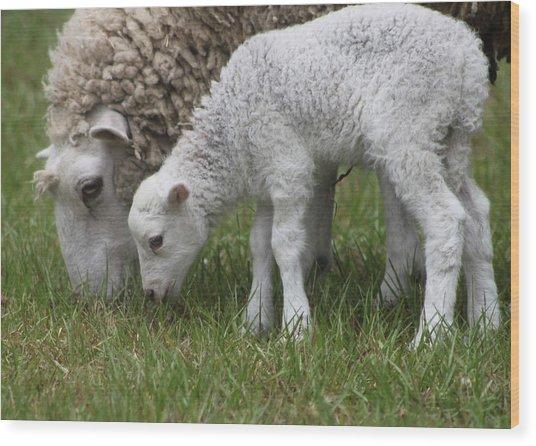 Sheep Mom And Lamb Grazing Wood Print