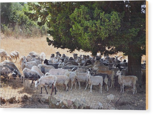 Sheltering Flock Wood Print by Paul Cowan