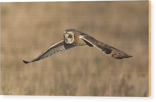 Short Eared Owl Hunting Wood Print