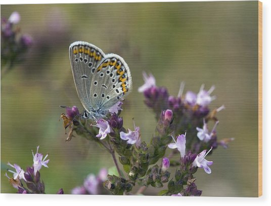 Silver-studded Blue On Marjoram Wood Print by Bob Gibbons