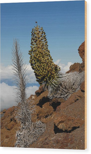 Silversword On Haleakala Wood Print by Scott Massey