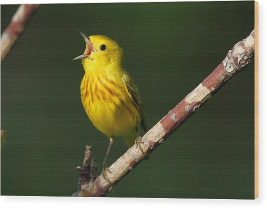 Singing Yellow Warbler Wood Print
