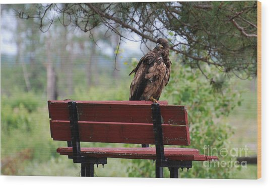 Sitting Eagle Wood Print by Whispering Feather Gallery