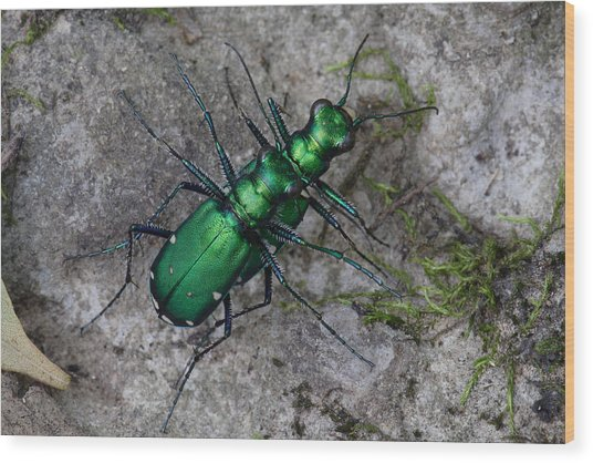 Six-spotted Tiger Beetles Copulating Wood Print