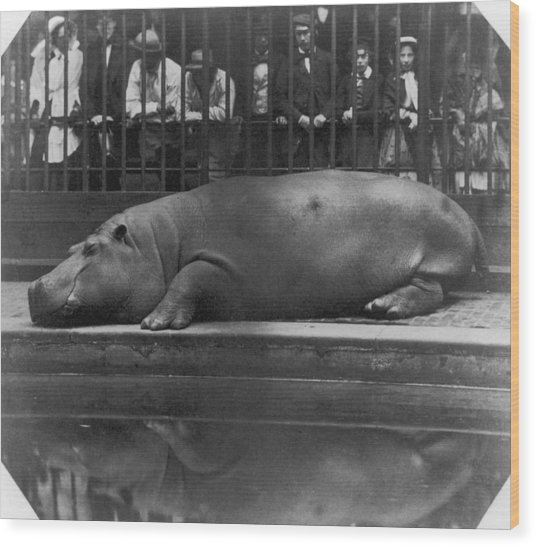 Sleeping Hippo Wood Print by Count De Montizon