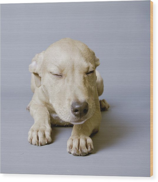 Sleeping Puppy On White Background Wood Print
