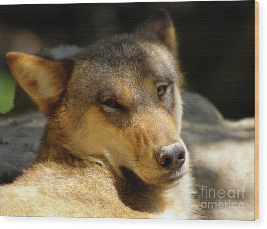Sleepy Wolf Wood Print