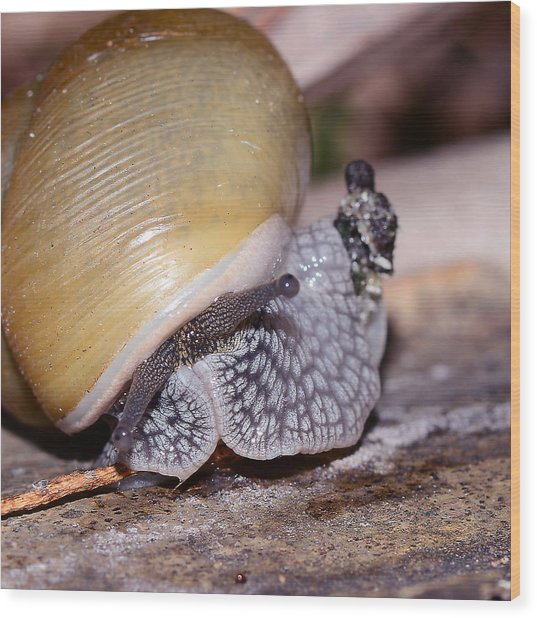 Snail Wood Print by Michelle Armstrong