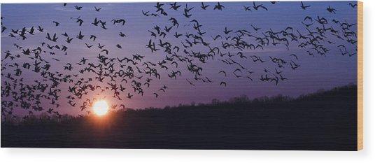 Snow Geese Migrating Wood Print