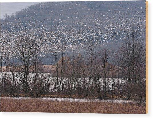 Snow Geese Rising Wood Print