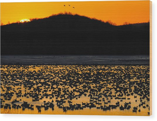 Snow Geese Sunrise Wood Print